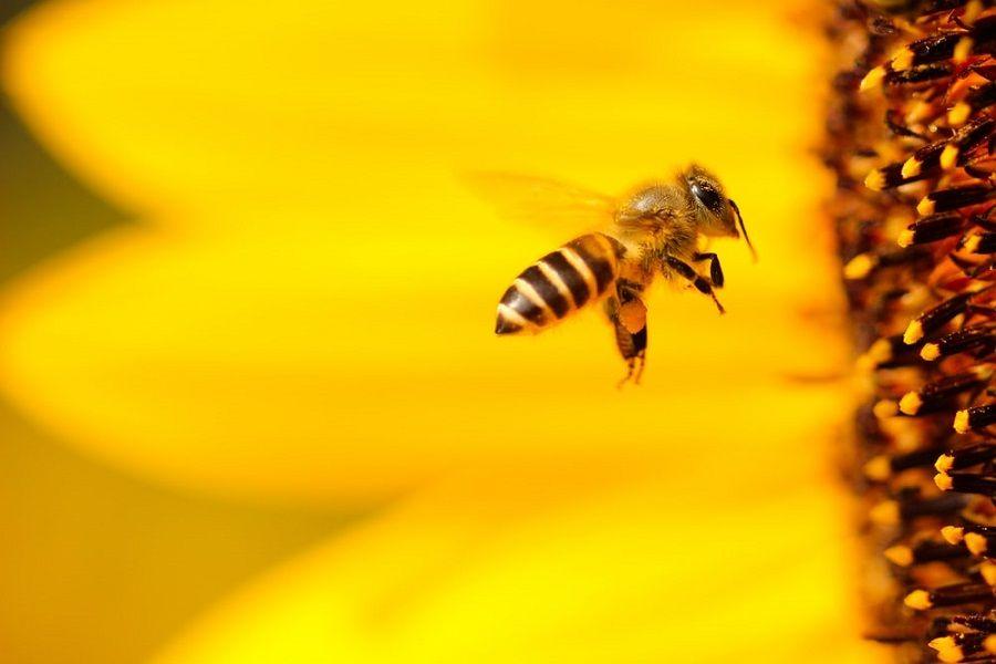 Pfanzenbestäubung durch Bienen
