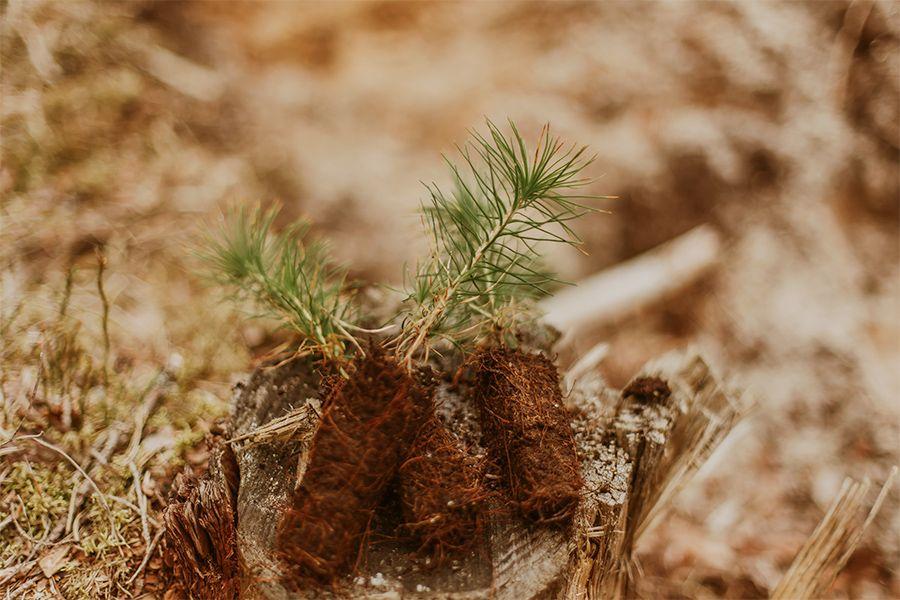 Stecklinge eines Nadelbaums