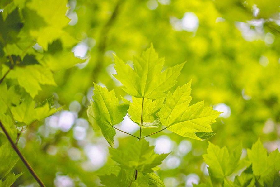 Grüne Blätter eines Baumes in Nahaufnahme