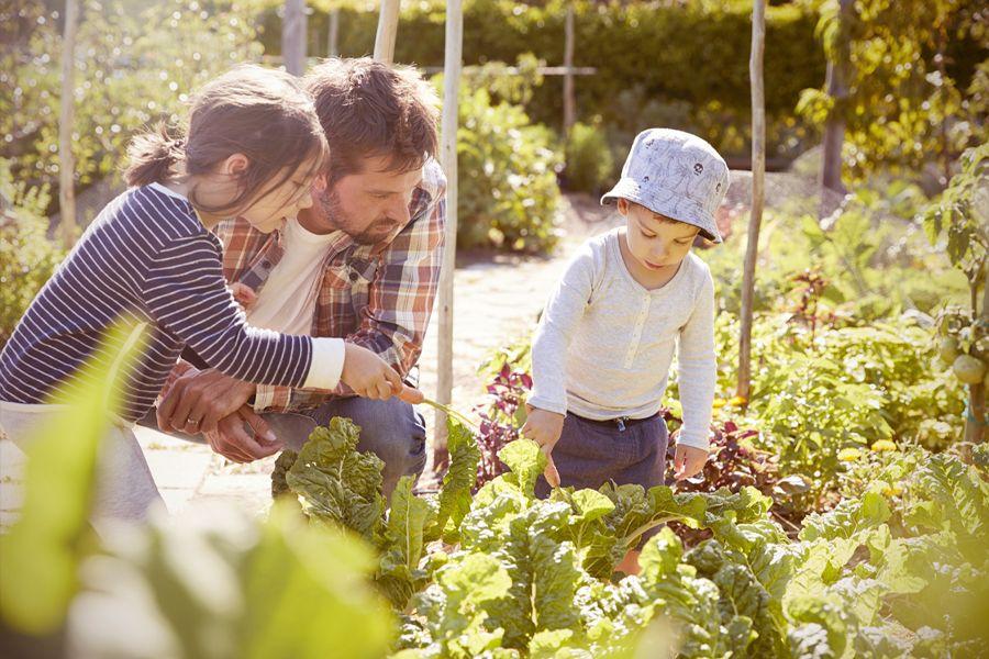 Kinder mit Vater beim Pflegen von Gemüsebeeten.