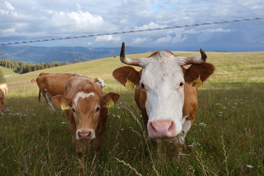 Wie die Kuh gut für's Klima wird