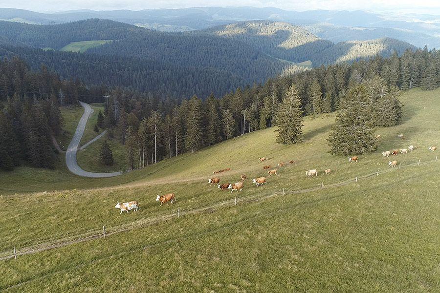 Weidehaltung Kühe