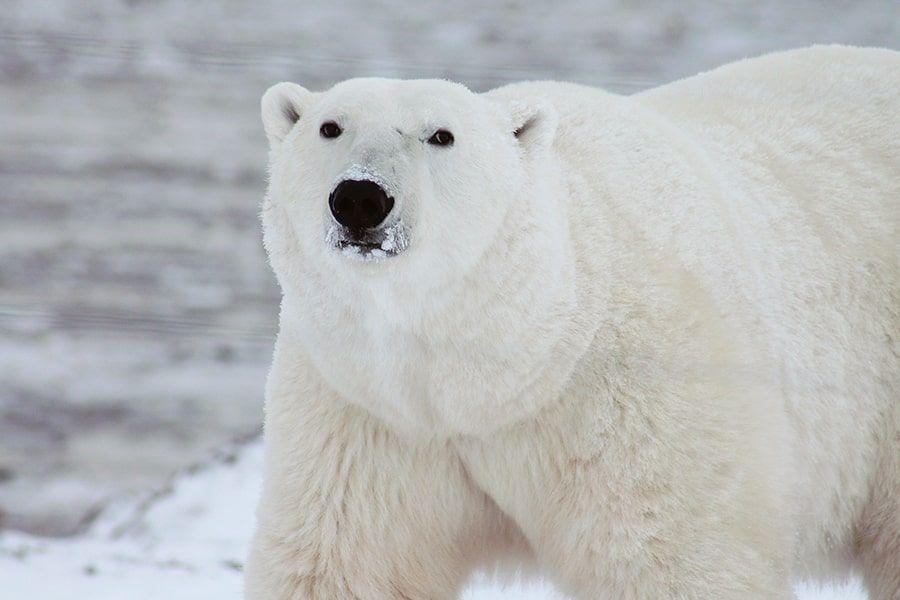 Nahaufnahme eines Eisbären