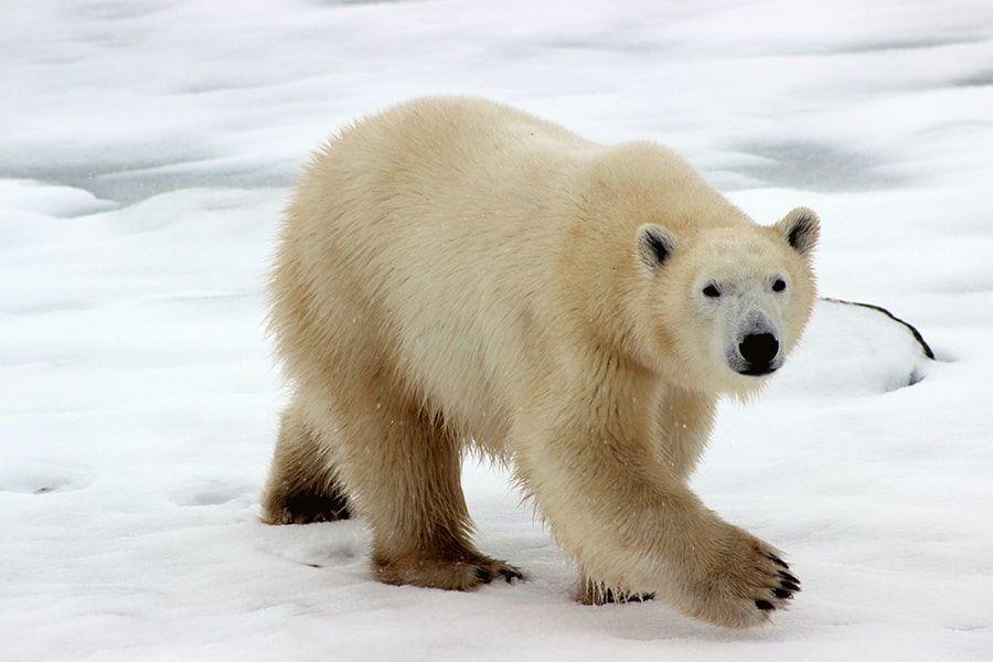 Tag des Eisbären: Ein Lebensraum verschwindet