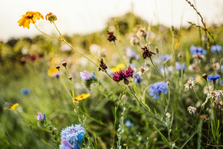 Blumen für Bienen – eine Blumenweide anlegen