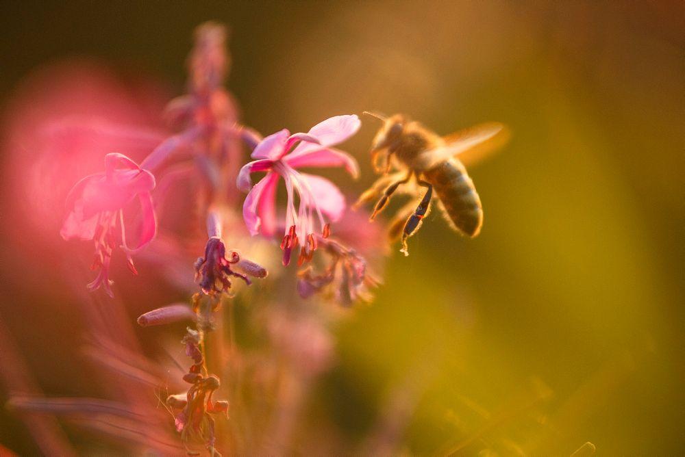 Bienenweide anlegen mit Blumen für Bienen