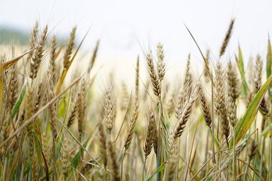 Regenerativ angebauter Weizen